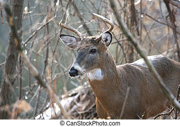 White-tailed Deer Buck - White-tailed Deer buck standing...