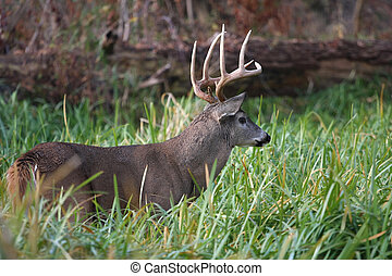 White-tailed Deer Buck - White-tailed Deer buck standing in...