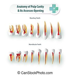 Dental Anatomy - Stomatological anatomical atlas. Table Pulp...