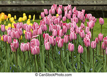 pink tulips flowers blooming in a garden