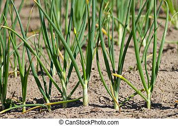 Green onions  in vegetable garden