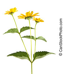 yellow camomiles isolated on white background closeup