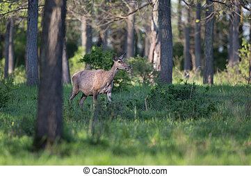 Hind walking in forest - Hind (red deer female) walking in...