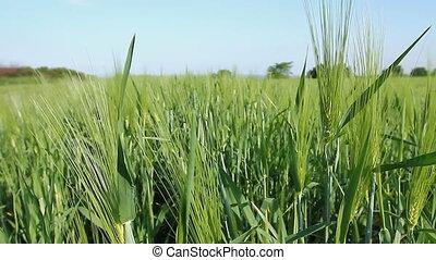 Spiked agricultural vegetation, cereal plantation on windy...