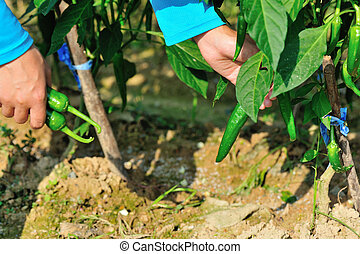 farmer picking green pepper at egetable garden