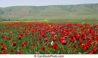 Blossoms Red Poppies in the Field Swaying in the Wind on Background of Mountains