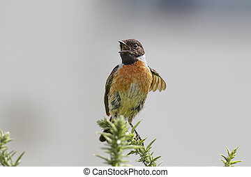 Beautiful stonechat closeup - Detailed photo of a singing...