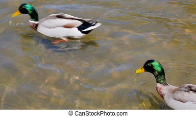 close-up of a young couple of male and female ducks in love...