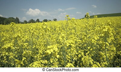 Industrial Farming Rapeseed Field Pan - Panning shot over...
