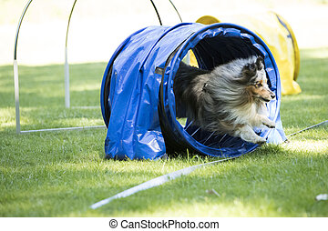 Dog, Shetland Sheepdog, running through agility tunnel