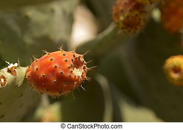 Prickly pear - Ripe tunas or prickly pears  on the cactus