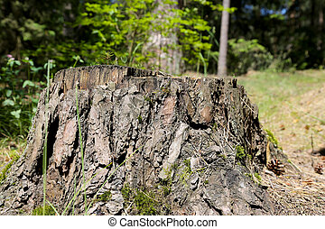 Stump of the trunk after felled old tree
