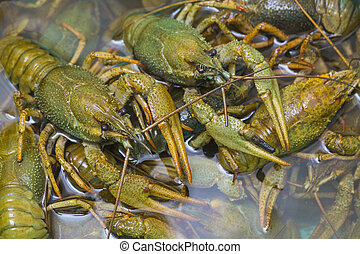 Live crawfish crawl in the water in a large container