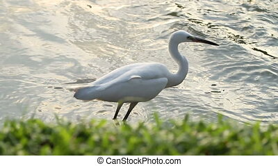 White egret hunting for fish in pond. Lumpini park, Bangkok, Thailand.