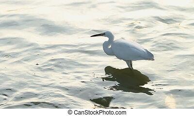 White egret hunting for fish in pond. Lumpini park, Bangkok,...