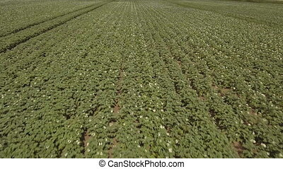 Aerial of green potato field. - Potato field with green...