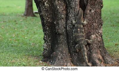 Monitor lizard climbing up a tree in Lumpini Park. Bangkok,...