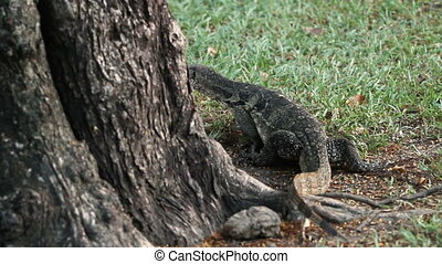 Monitor lizard climbing down from the tree in Lumpini Park. Bangkok, Thailand.