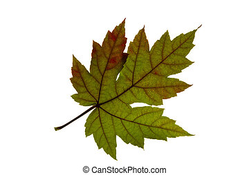 Single Maple Leaf Changing Fall Color