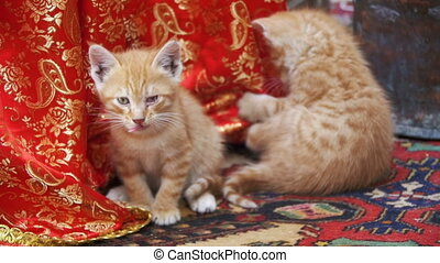 Homeless Red Kittens Licked on the Street. Slow Motion in 96...