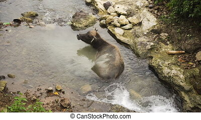 Bull lying in the river. - Asian bull cooled in a mountain...