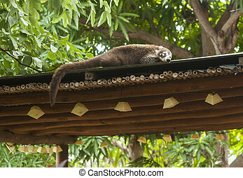 Sleepy White Nosed Coati - Female white nosed coati sleeping...