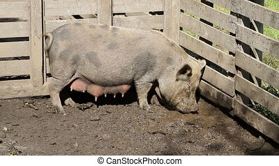 Pig Eating Slop