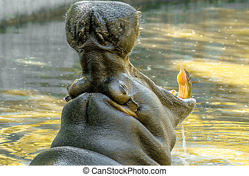 large animal hippopotamus in the water opened its mouth -...