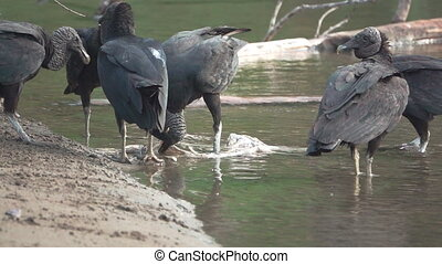 Flock of Black Vultures (Coragyps atratus) fighting for food...
