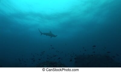 hammer head Shark diving Underwater Video Galapagos islands...