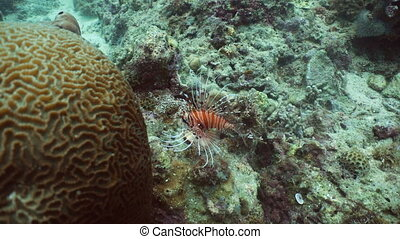 Coral reef and tropical fish, lionfish. Philippines -...