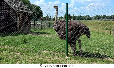 common ostrich struthio camelus animal fenced in zoological...