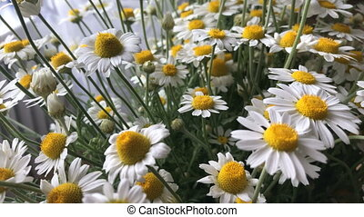 beautiful summer flowers Chamomile