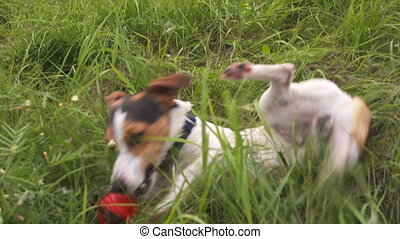 Dog play in the grass - Jack Russell playing in the grass
