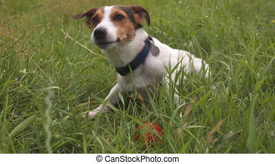 Dog play in the grass