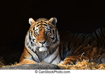 Siberian tiger looks out of the dark shadow - One Siberian...
