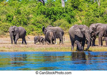 Watering in shallow water - Watering in the Okavango Delta....