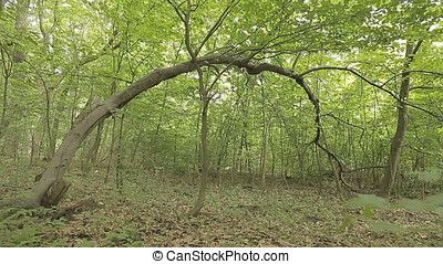 Bent Arched Tree in Middle of Overgrown Wild Forest - Bent...