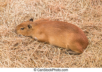 Giant Rat or Capybara in the farm