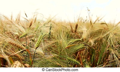 Wheat Field Caressed by Wind. Organic food concept. Panning...