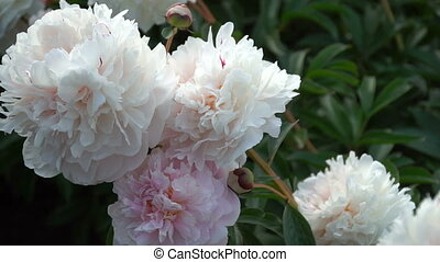 Beautiful white peony flowers in the summer garden. Close-up