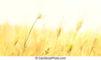 Wheat Field Caressed by Wind. Organic food concept.