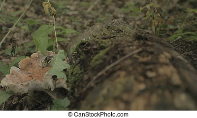 Ants and Parasitic Fungus on Fallen Tree Trunk in Swamp at...