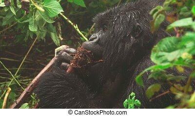 Mountain gorilla face closeup feeding in the forest - Side...