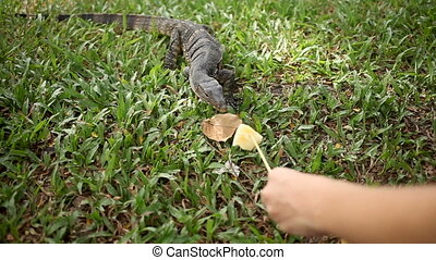 Monitor lizard crawling on the grass. Woman lures lizard on...