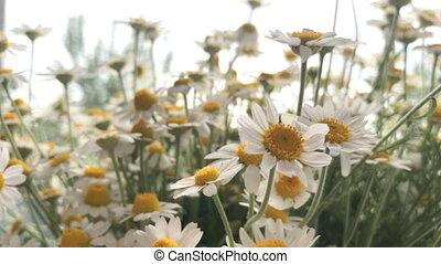 beautiful summer flowers Chamomile - close up of beautiful...