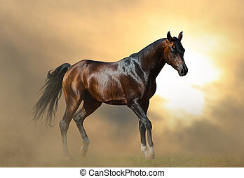 Beautiful arabian stallion in sunset - Beautiful dark bay...