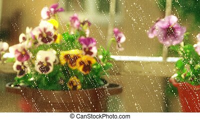 Potted petunia and pansy flowers in the summer rain