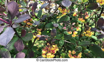 Flowering bush. Spring young green leaves and beautiful little yellow flowers with red patches