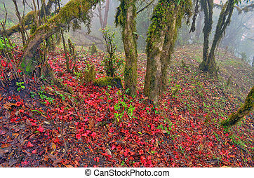 Falling rhododendron flowers on the ground. Nepal, Annapurna...